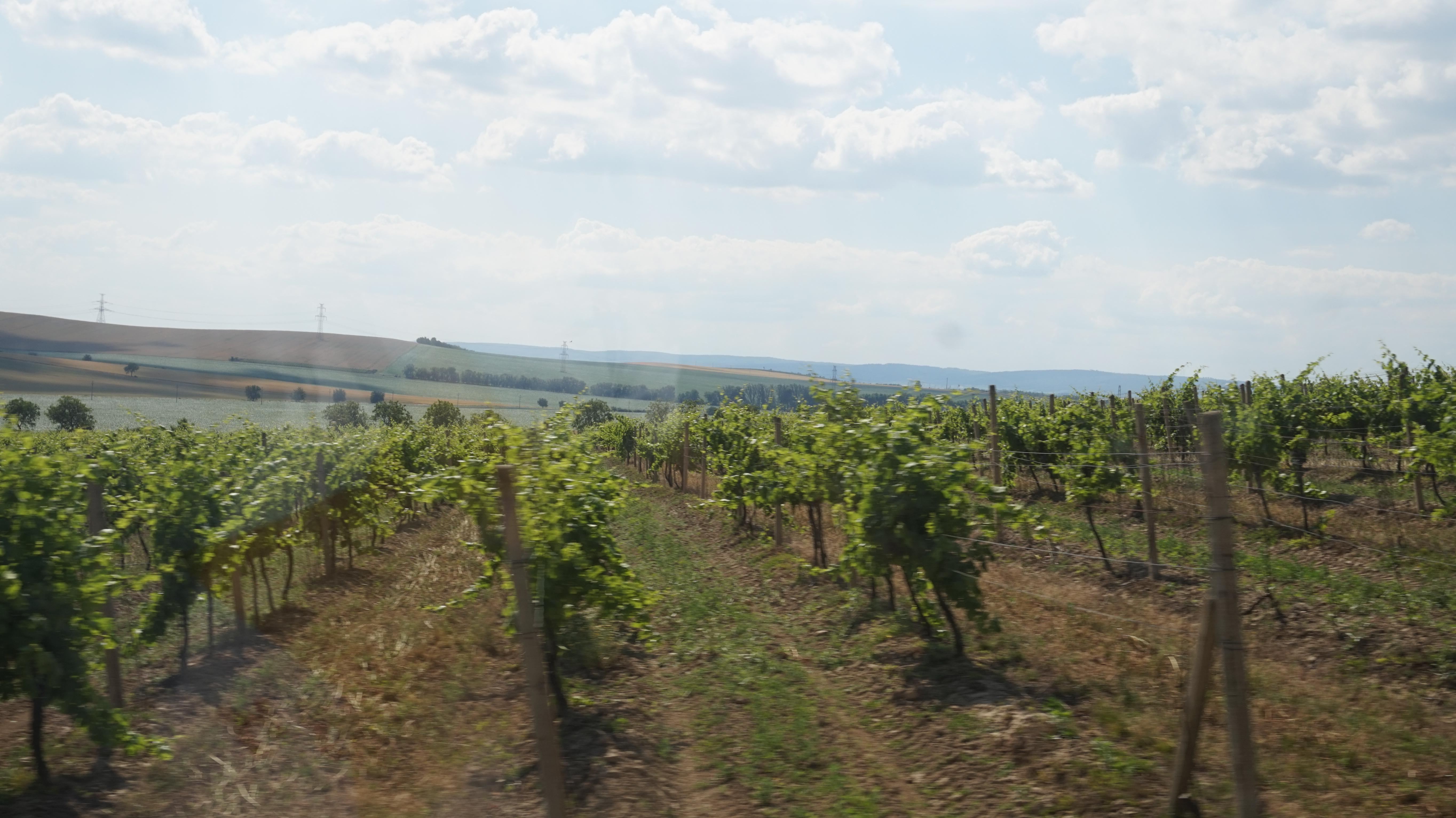 ワイナリーとワイナリーの間には広がるワイン畑。